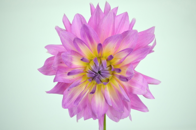 Picture of Dahlias