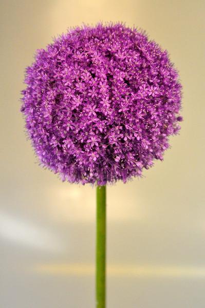 Picture of Allium Giganteum