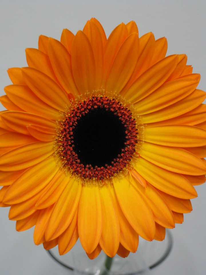 Picture of Gerbera TC