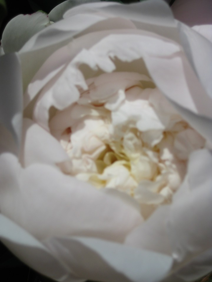Picture of Peony WHITE