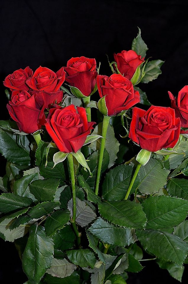 Picture of Rose Red 60cm10