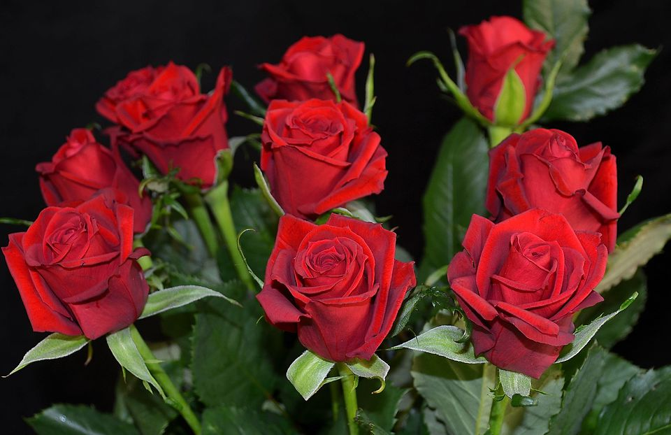 Picture of RoseRED 45-50cm