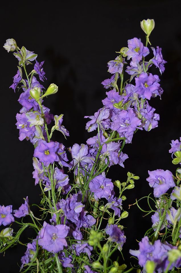 Picture of Larkspur