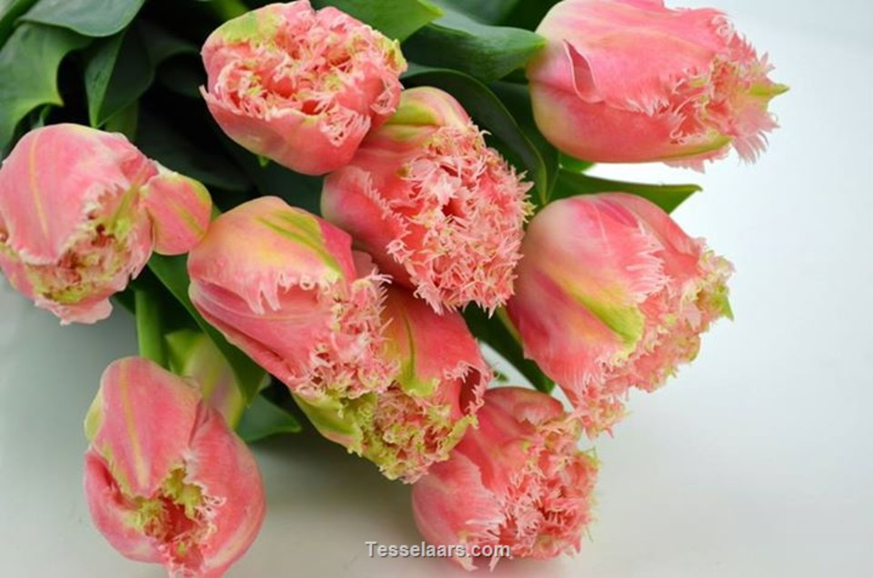 Picture of Tulip PEONY