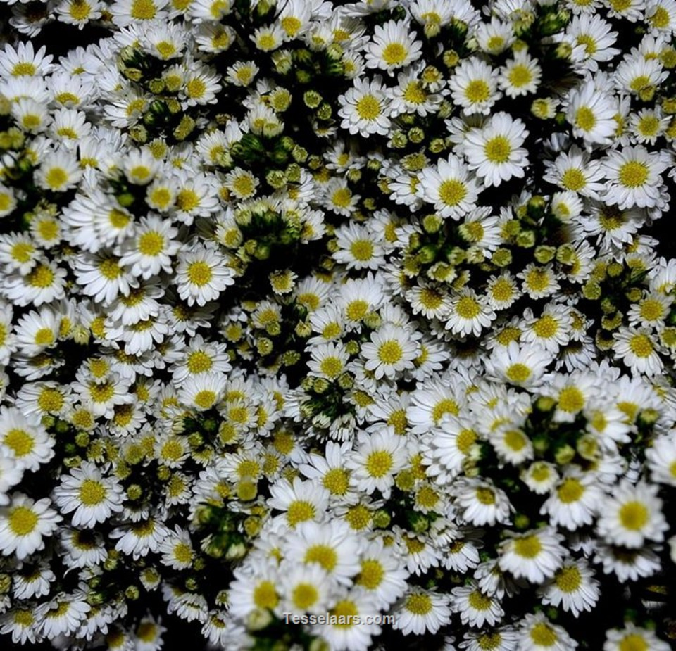 Picture of Easter Daisy WHITE