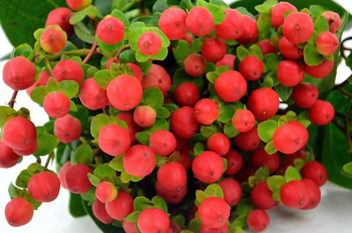 Picture of Hypericum