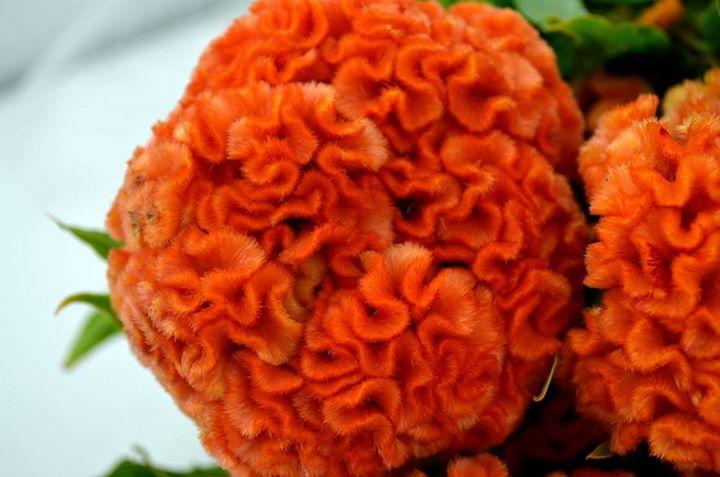 Picture of Celosia Brain