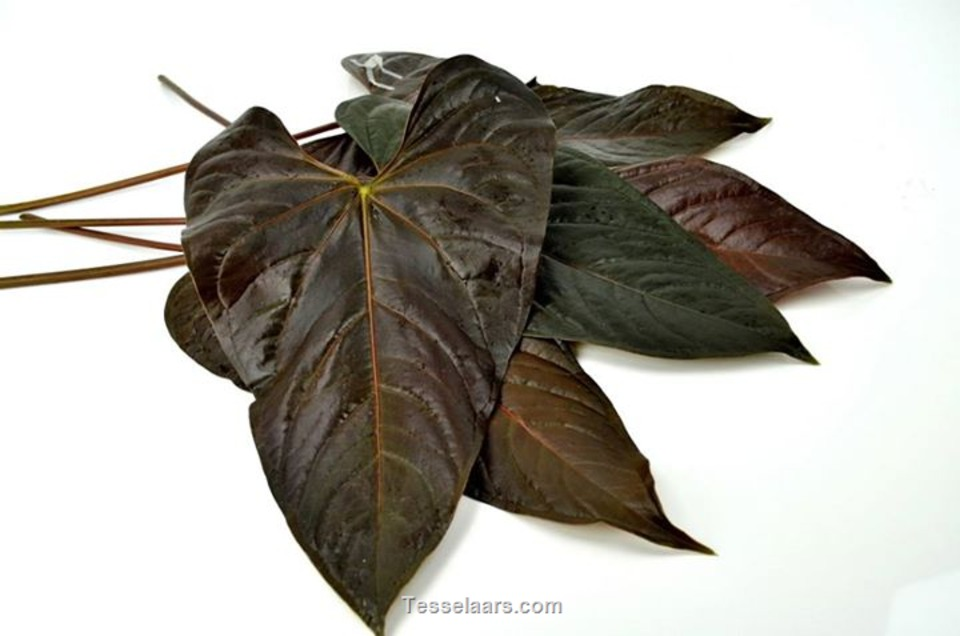 Picture of A/Leaves Bronze