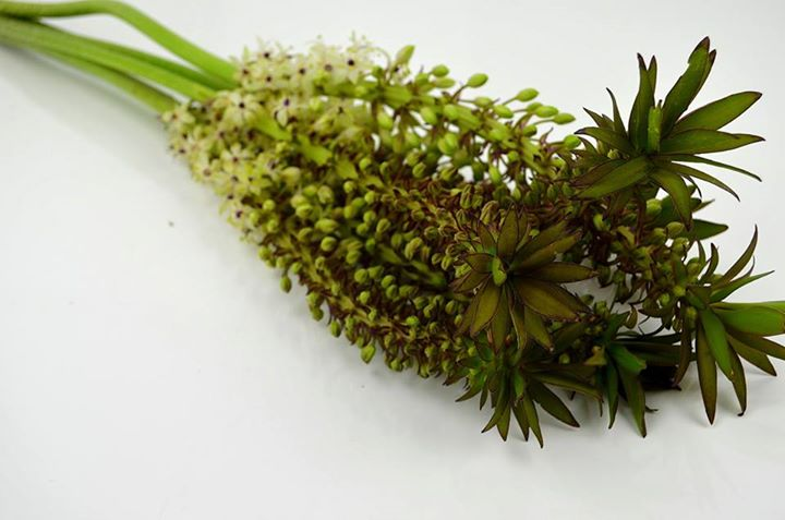 Picture of Pineapple Lily