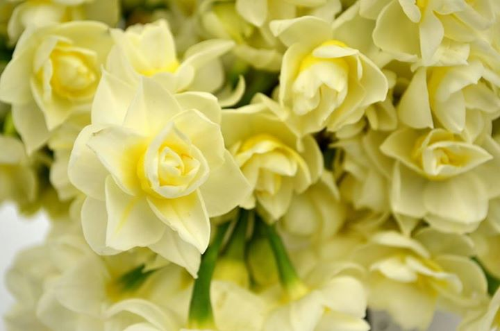 Picture of Jonquil ECheer