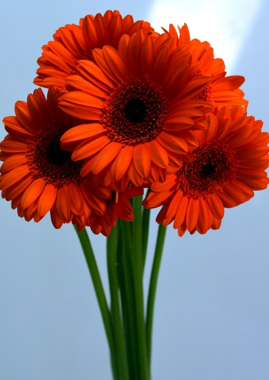 Picture of Gerbera Mini