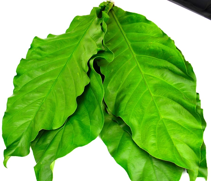 Picture of Jungle King Leaves