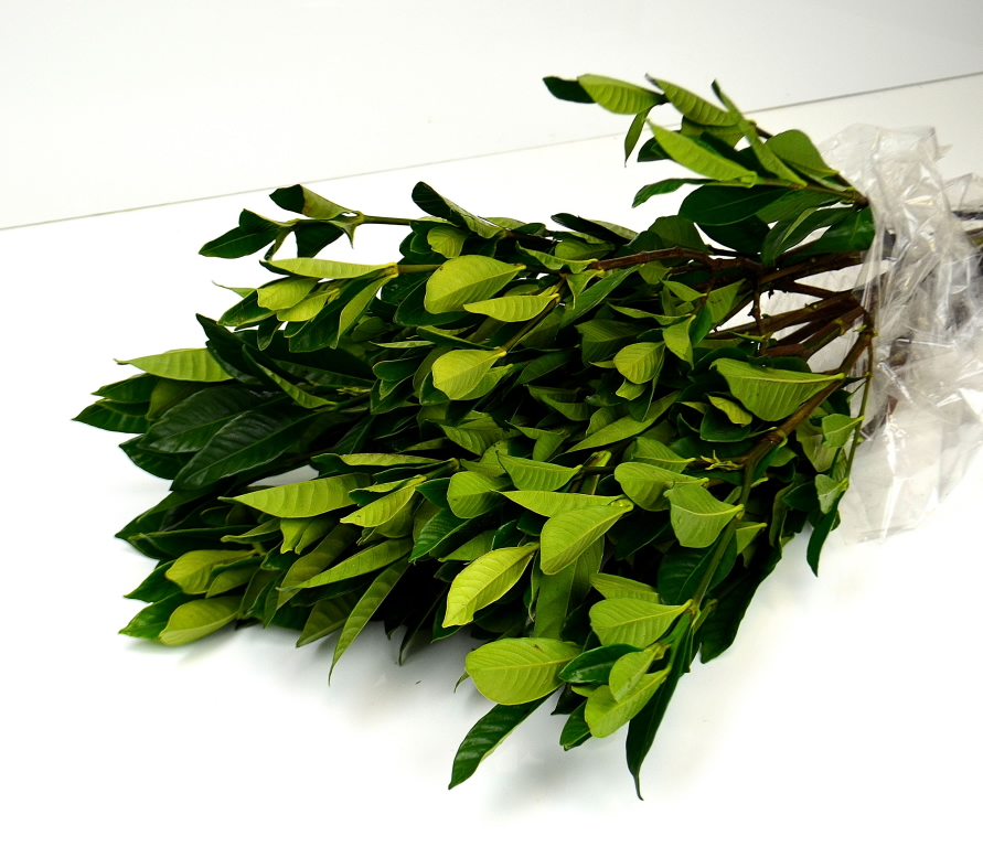 Picture of Gardenia Foliage