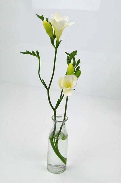 Picture of Freesia